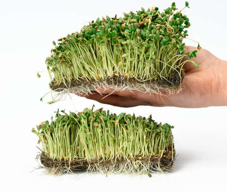 green flax sprouts on a white background, useful microgreen on a white background, detox