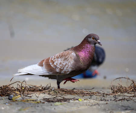 city pigeon walks on the ground on a summer day, purple feathers 免版税图像