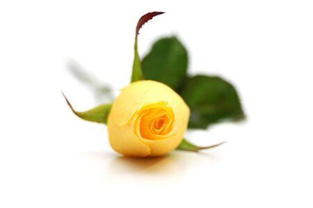 One yellow rose photo