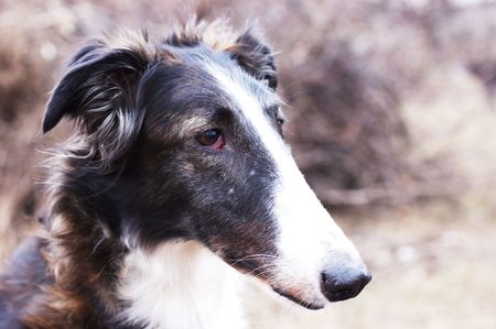 Russian wolfhound - borzoi - in expectation of hunting photo