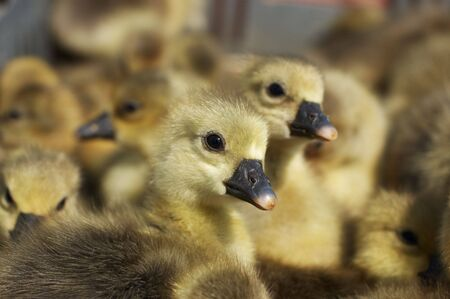 Small newborn gosling looking at camera photo