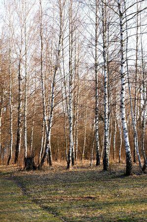 Springtime birches Stock Photo - 4729998