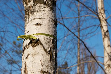 Green ribbon tied in a bow in birch Stock Photo - 4730021