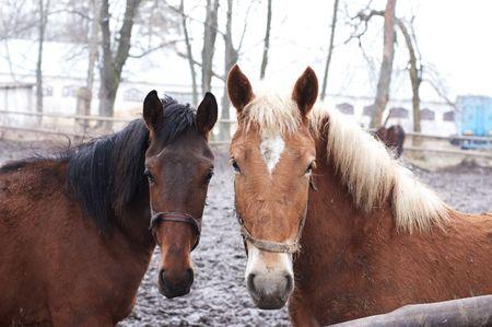 enclosure: Two horses in outdoor enclosure
