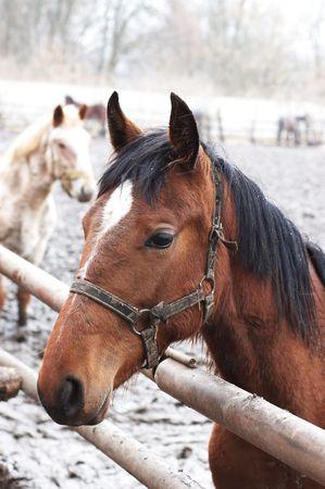 Bay horse in outdoor enclosure under light snow photo