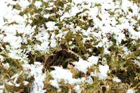 Branches of juniper under snow  photo