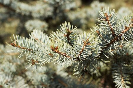 Branches of blue spruce (coniferous tree) photo