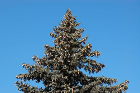 Evergreen firtree with cones on blue sky background  photo