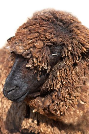 naivety: Black Karakul sheep