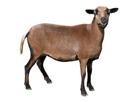 goat horns: Goat isolated on white