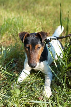 Fox Terrier (Smooth) lying on green grass  photo