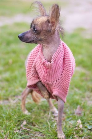Mexican naked dog (xoloitzcuintle) in funny dog clothes