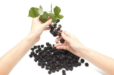 cropping: Woman hand cropping blackberry from bunch  Stock Photo