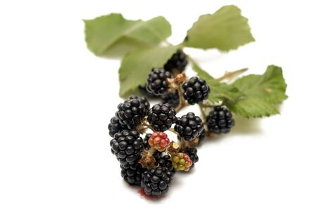 blackberry bush: Branch of blackberry bush with red and ripe black berries Stock Photo