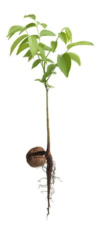 Young Walnut sapling grown from nut isolated on white photo