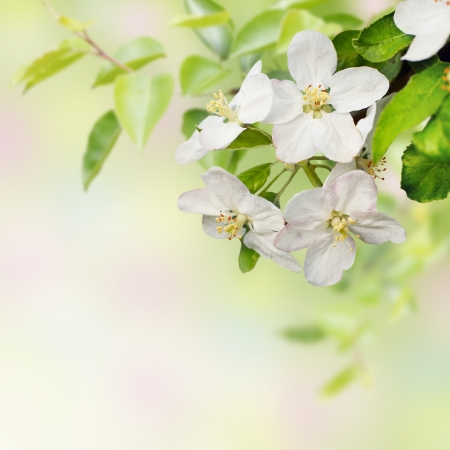Hermosa primavera floreciente manzano