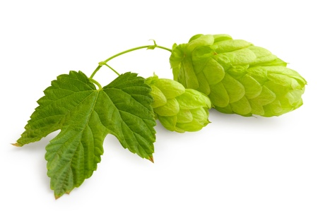 humulus: Fresh green Hop bunch on white Stock Photo