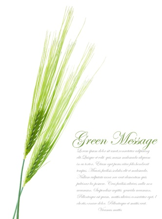 Ears of young green wheat  File contains clipping path for separate spica photo