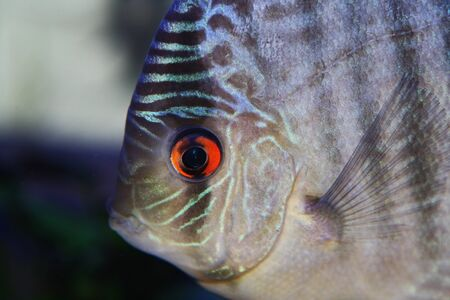 blue discus with red eye in aquarium photo