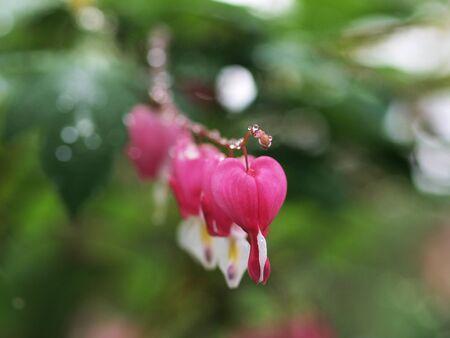 Broken heart flower with raindrops       photo