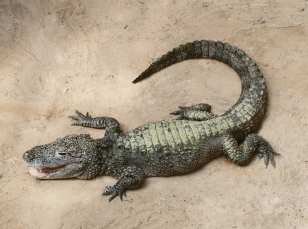a baby crocodile stock photo picture and royalty free image image