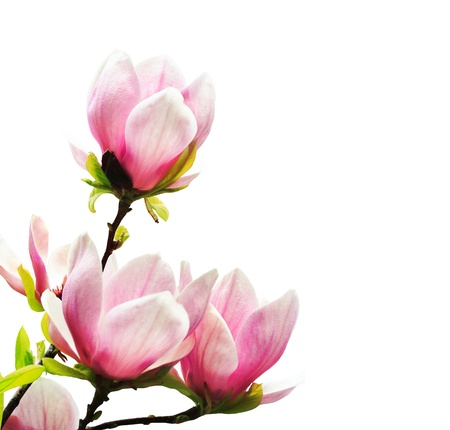 Spring magnolia tree blossoms on white background