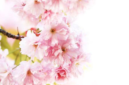 白い背景に対して桜