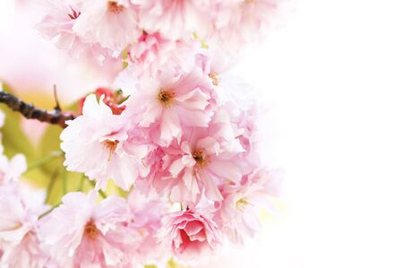 Cherry blossom against a white background