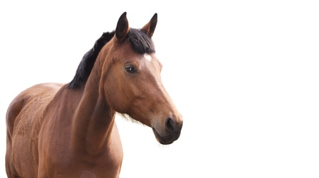 manes: Beautiful brown horse on a white background