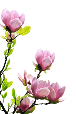 Spring magnolia tree blossoms on white background.