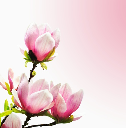 Spring magnolia tree blossoms on pink background. photo