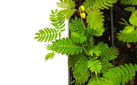 Acacia plant isolated on white background photo