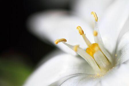 macro of white flowers on dark background Stock Photo - 10718156