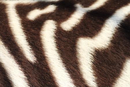 Detail of zebra Standard-Bild