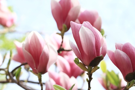 Spring Blossoms of a Magnolia tree photo