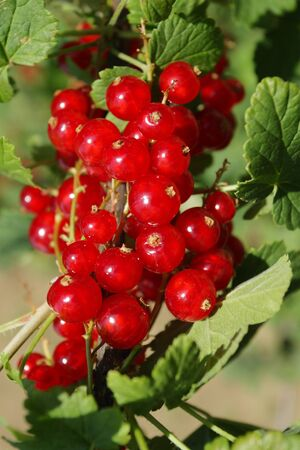 A ripe red currant in summer garden photo