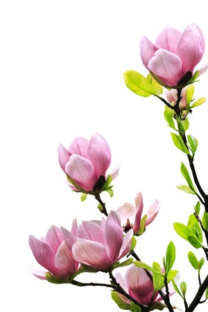 Spring magnolia tree blossoms on white background. photo