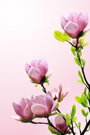 Spring magnolia bloeit op roze-witte achtergrond Stockfoto