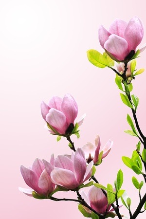 magnolia tree: Spring magnolia tree blossoms on pink-white background Stock Photo