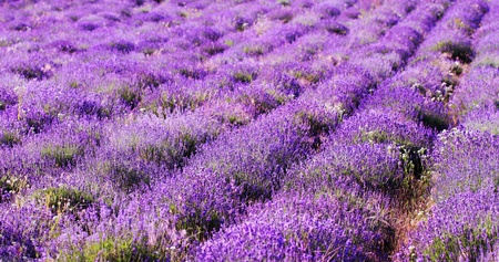 color lavender field. Natural and herbal landscape photo