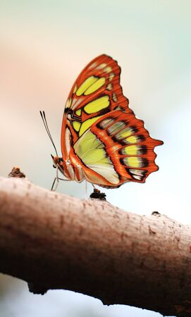 Red lacewing butterfly (lat. Cethosia biblis) resting on branch photo