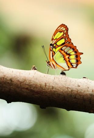 chrysope: Rouge chrysope papillon (lat. Cethosia Biblis) reposant sur la branche Banque d'images