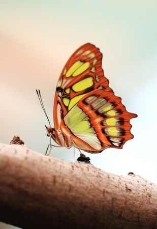 Red lacewing butterfly  lat  Cethosia biblis  resting on branch photo