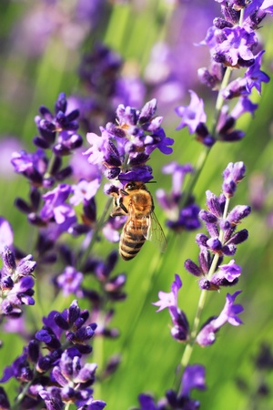 bee on flower: Bee on a Lavender flower in the field