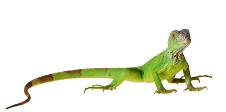 lagartija: Iguana verde Iguana iguana aislado sobre fondo blanco