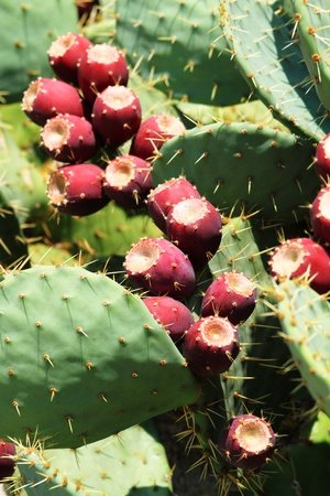 prickly pear  opuntia  cactus with fruit