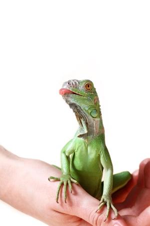 squamata: Green iguana (Iguana iguana) isolated on white background