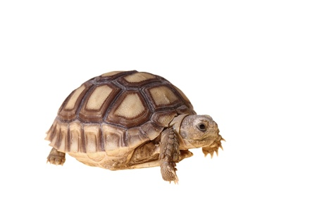 African Spurred Tortoise (Geochelone sulcata) isolated on white background Zdjęcie Seryjne