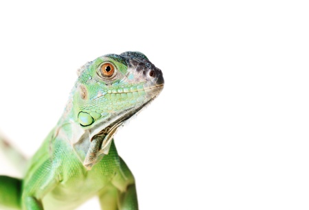 Green iguana  Iguana iguana  isolated on white background photo