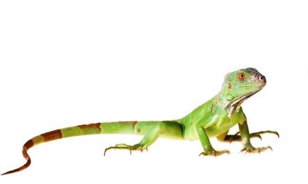 sauri: Iguana iguana iguana verde isolato su sfondo bianco Archivio Fotografico